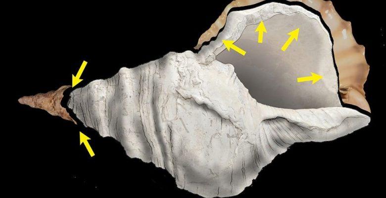 17 bin yıllık deniz kabuğundan ses çıkardılar